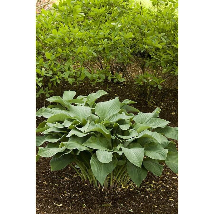Monrovia 2.6-Quart Krossa Regal Plantain Lily