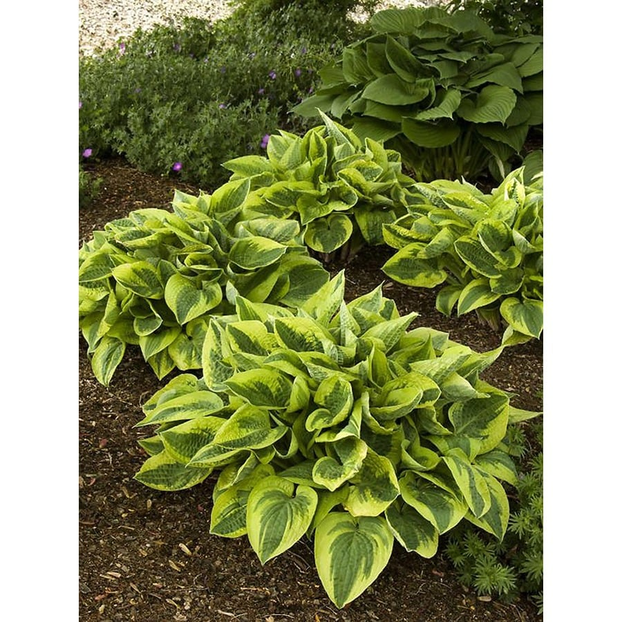 Monrovia 2.6-Quart Wide Brim Plantain Lily