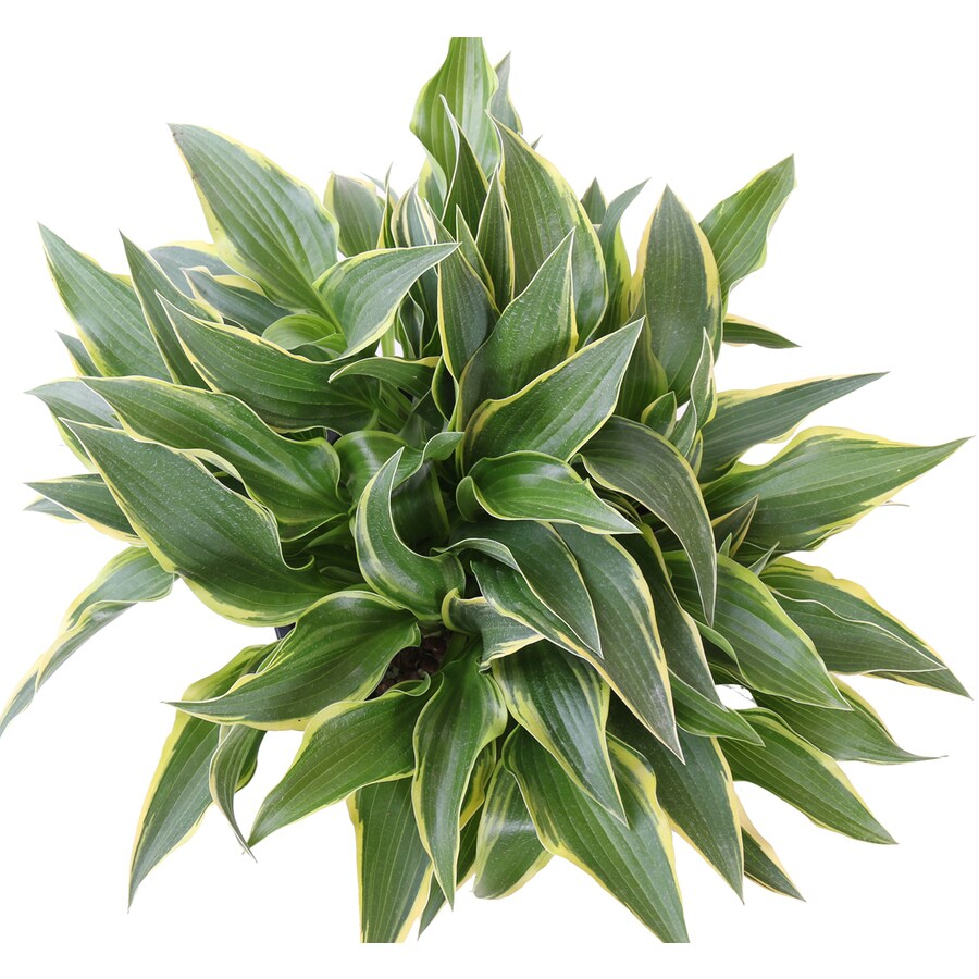 Monrovia 1-Gallon Wide Brim Plantain Lily