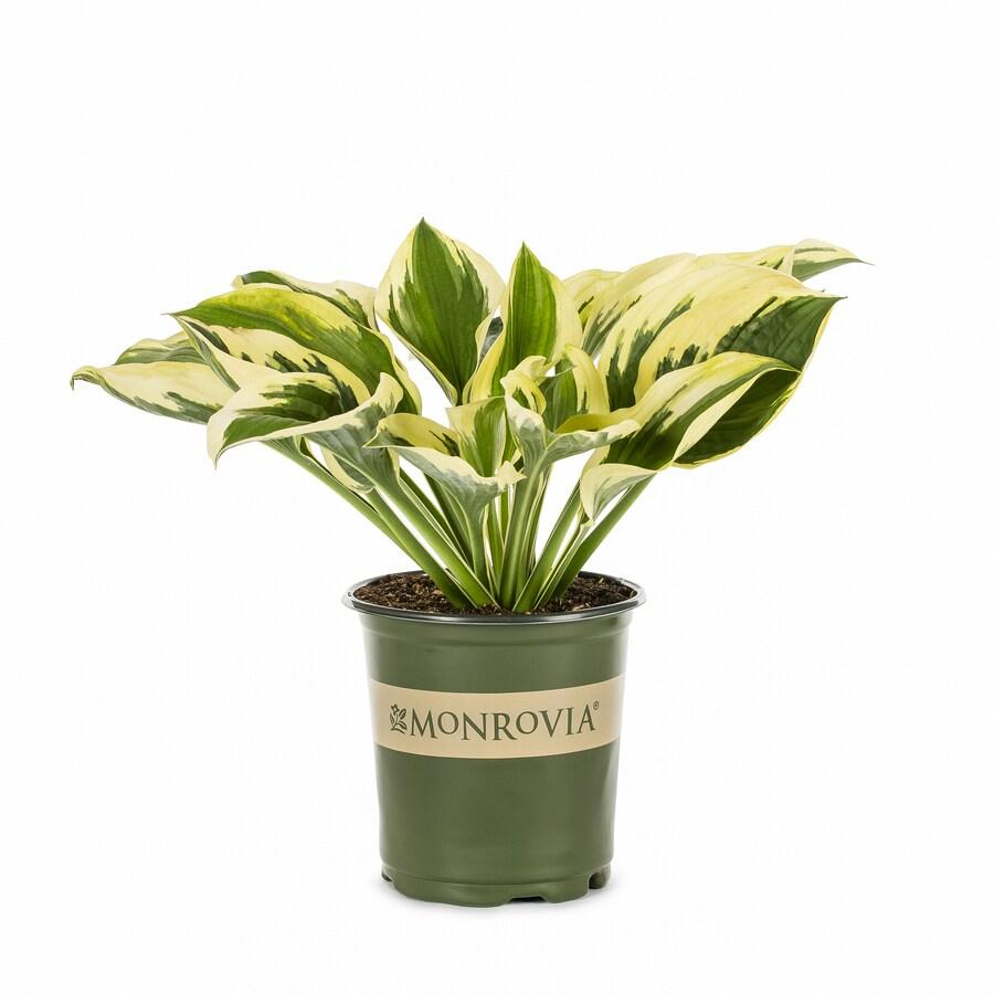Monrovia 2.6-Quart Patriot Plantain Lily