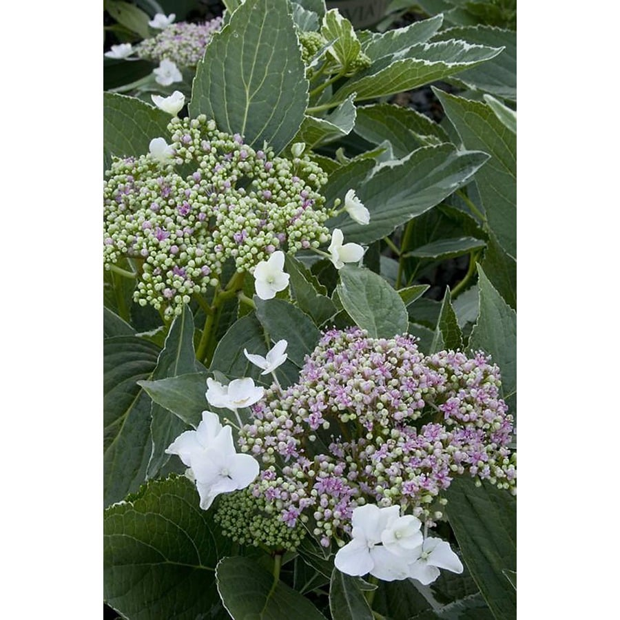 Monrovia 2.6-Quart Blue Variegated Lacecap Hydrangea Flowering Shrub