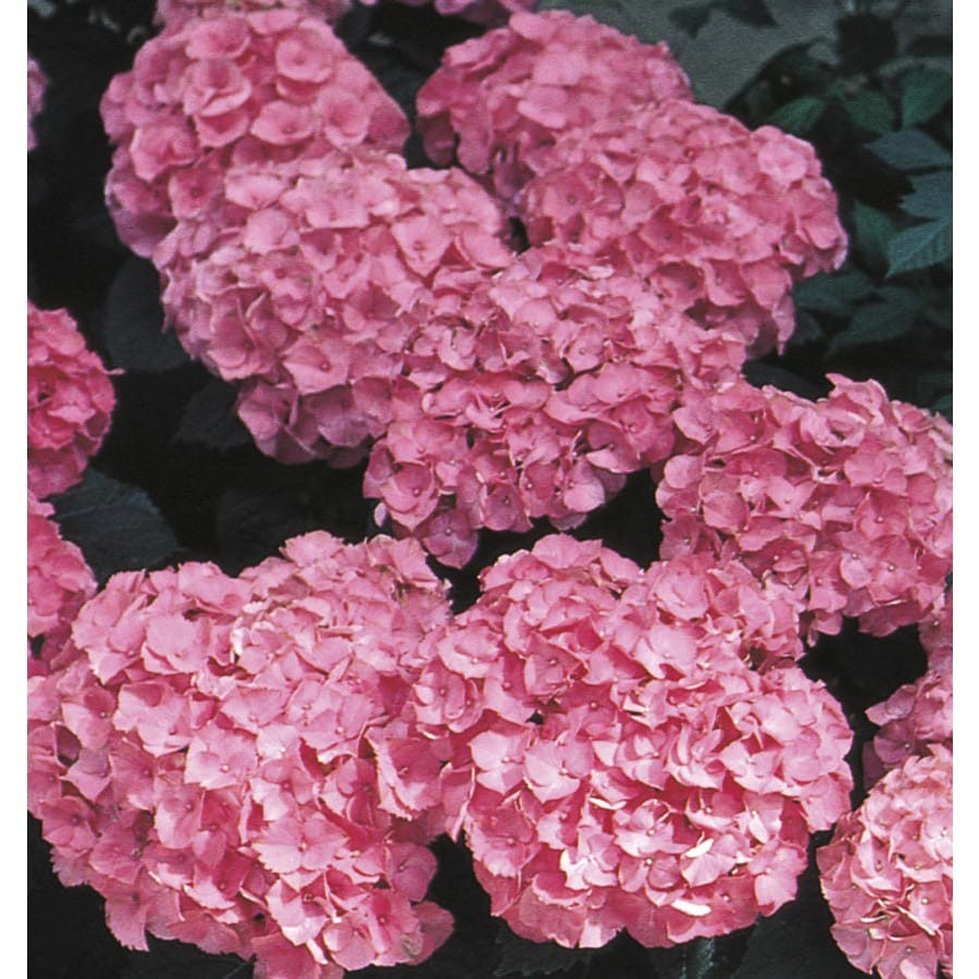 Monrovia 2.6-Quart Pink Pink Beauty Hydrangea Flowering Shrub (L6806)