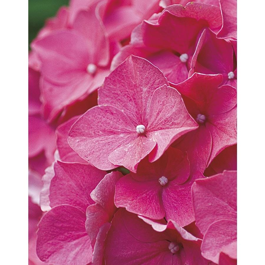 Monrovia 2.6-Quart Red Red Beauty Hydrangea Flowering Shrub (L21523)