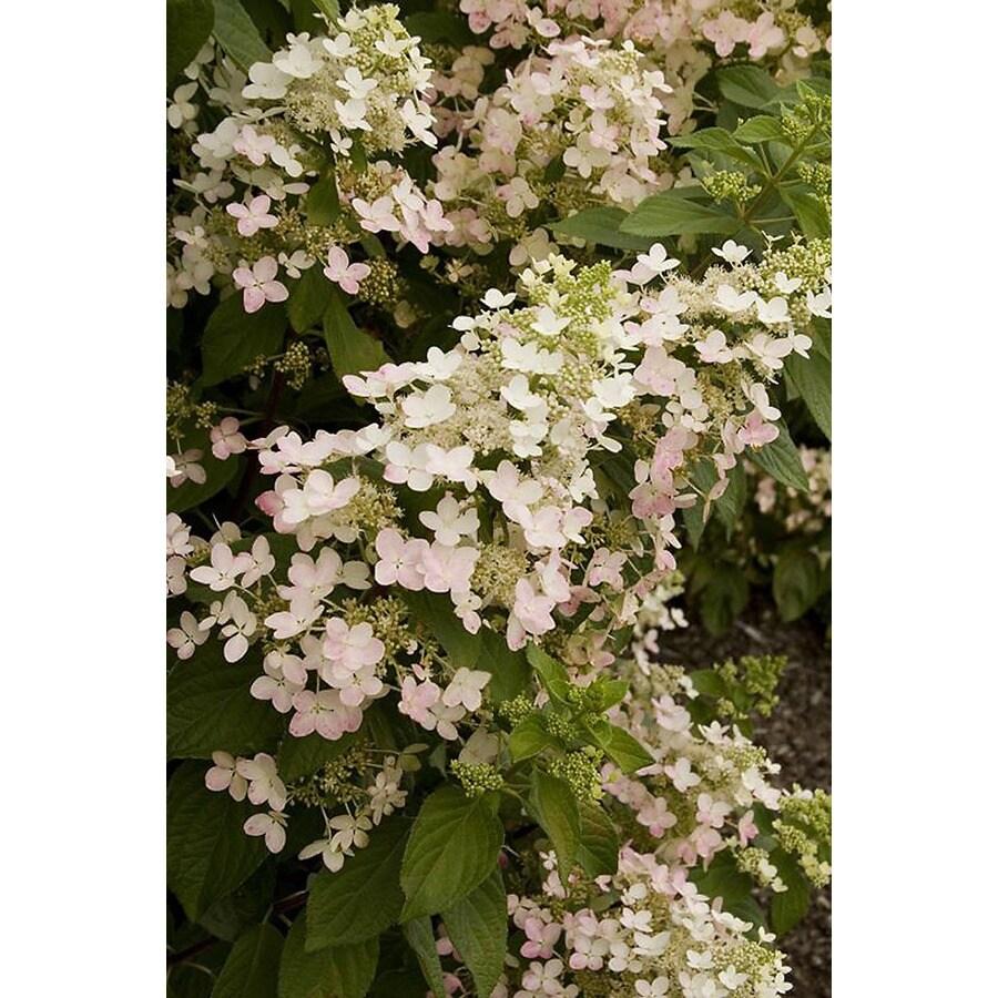 Monrovia 2.6-Quart White Angel's Blush Hydrangea Flowering Shrub