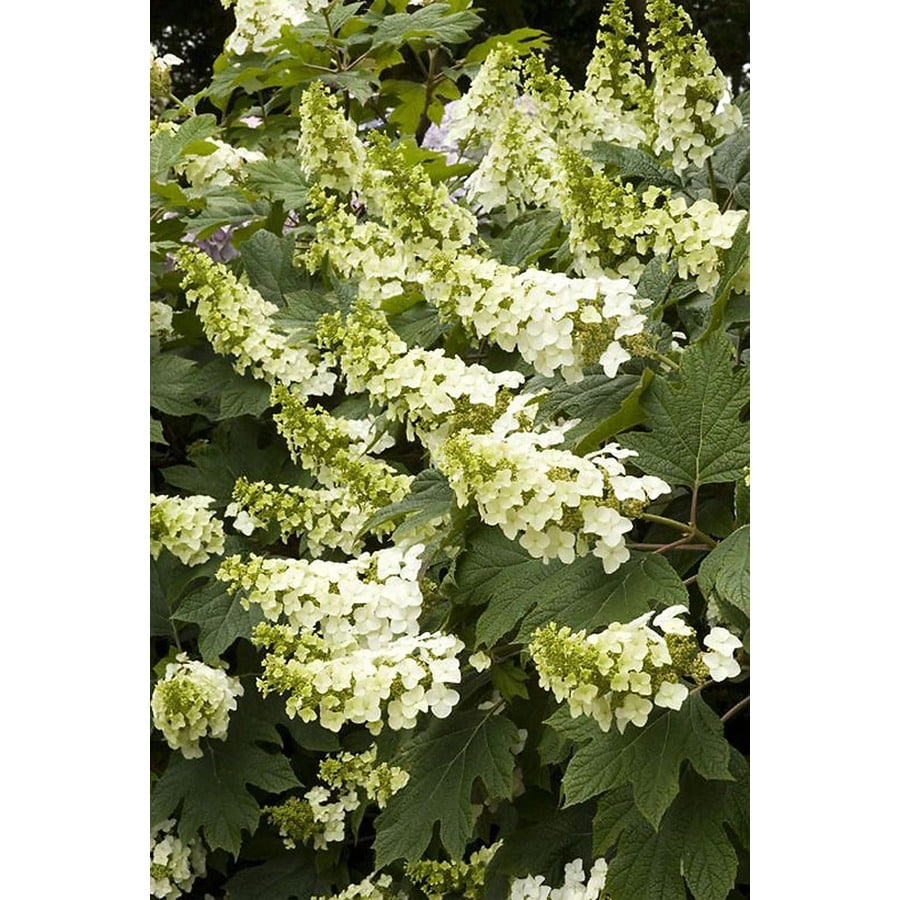 Monrovia 3.58-Gallon White Snow Queen Oakleaf Hydrangea Flowering Shrub
