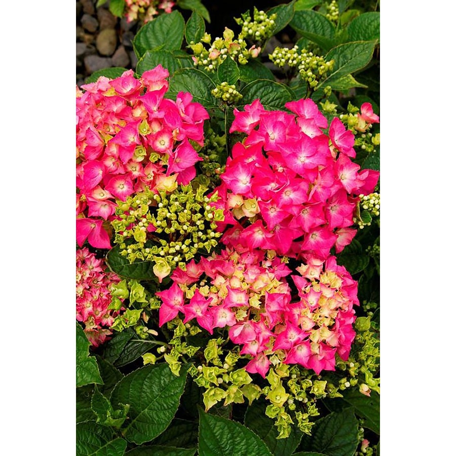 Monrovia 3.58-Gallon Pink Pink Elf French Hydrangea Flowering Shrub