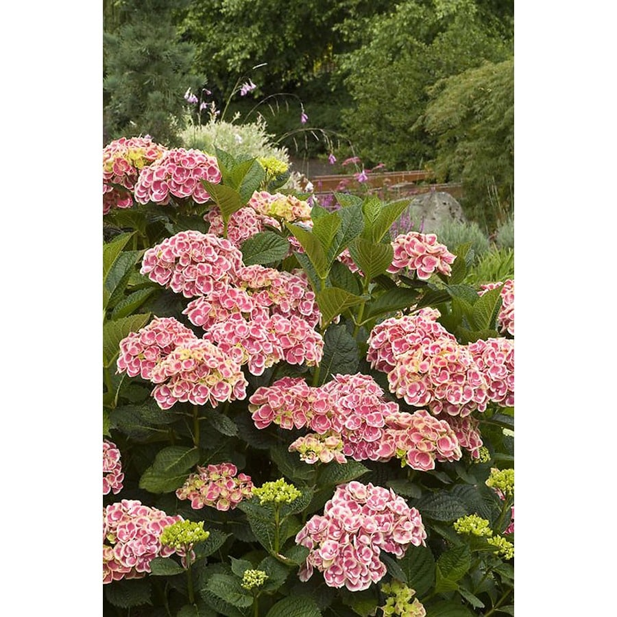 Monrovia 2.6-Quart Pink Buttons and Bows Hydrangea P11405 Flowering Shrub