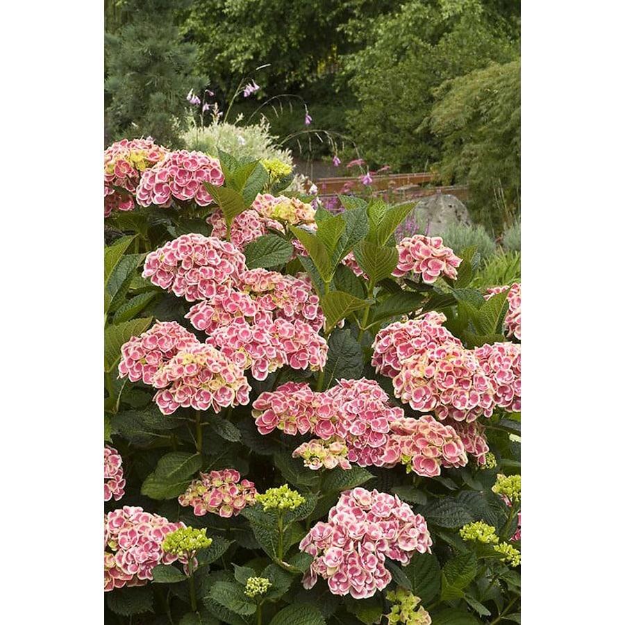 Monrovia 3.58-Gallon Pink Buttons and Bows Hydrangea P11405 Flowering Shrub