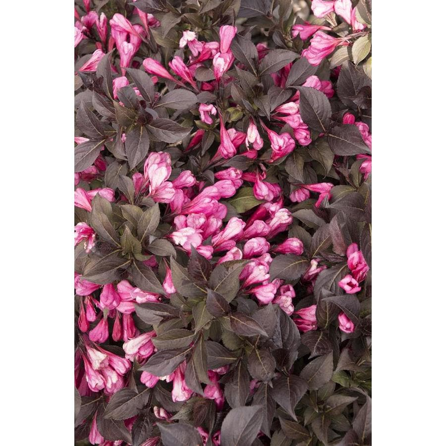 Monrovia 2.6-Gallon Pink Coco Krunch Weigela Flowering Shrub
