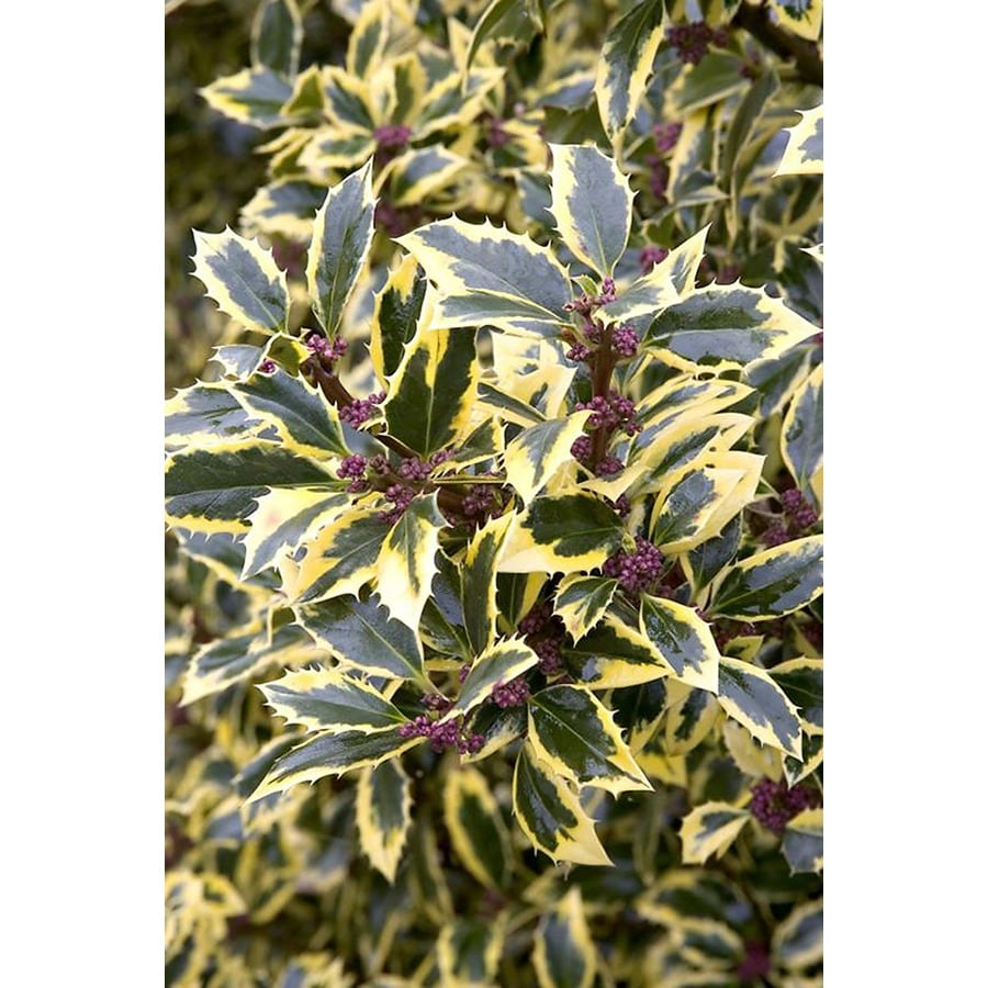 Monrovia 1.6-Gallon White Gold Coast English Holly Flowering Shrub