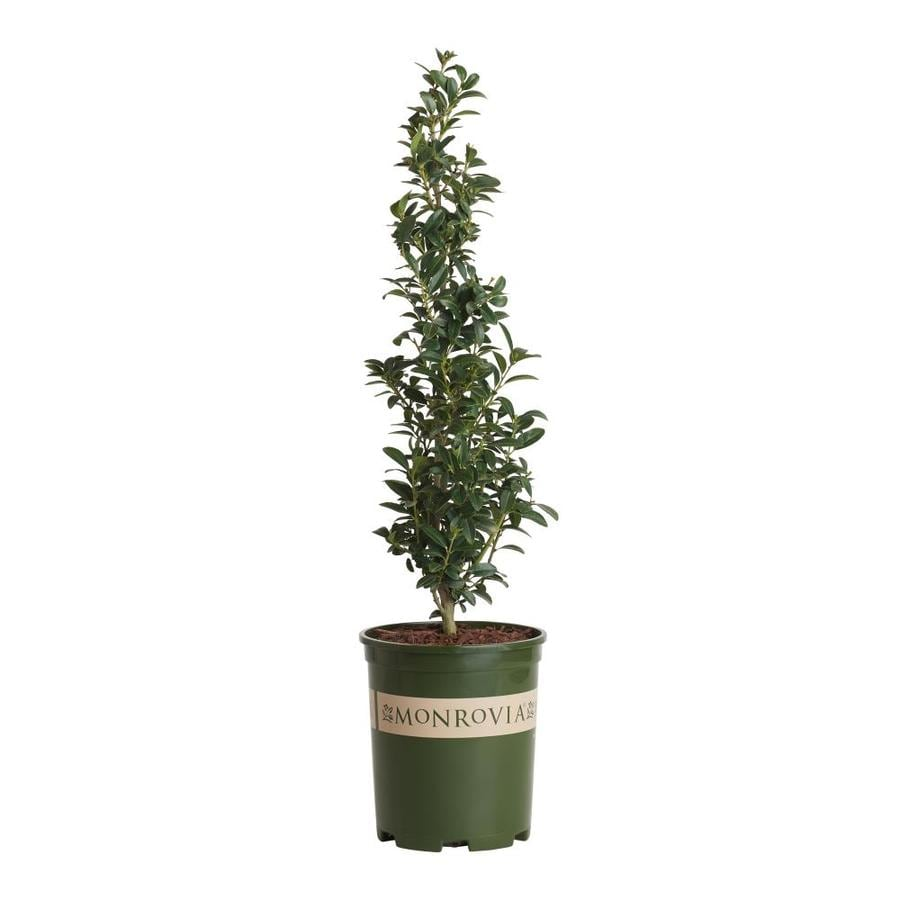 Monrovia Sky Pencil Anese Holly Foundation Hedge Shrub In Pot With Soil