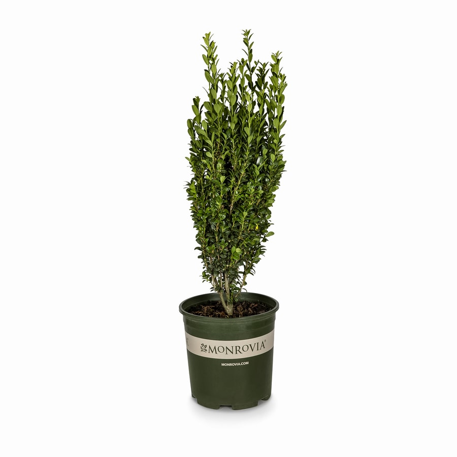 Monrovia 1.6-Gallon Sky Pencil Japanese Holly Feature Shrub