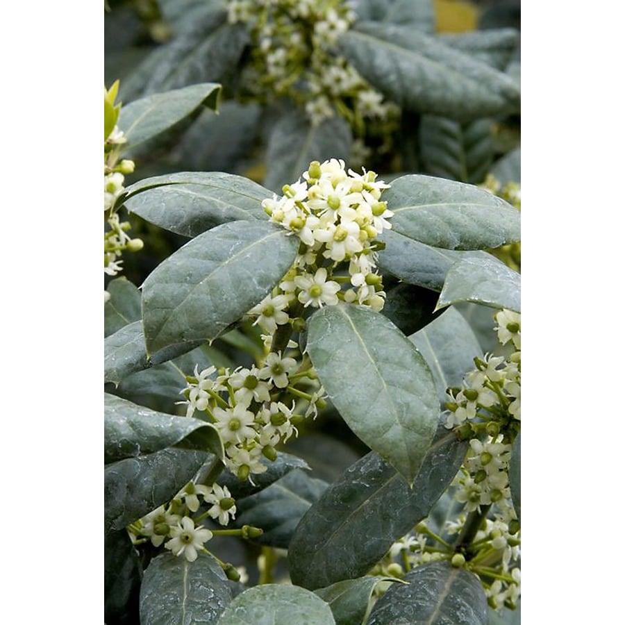 Monrovia 3.58-Gallon White Nellie R Stevens Holly Flowering Shrub