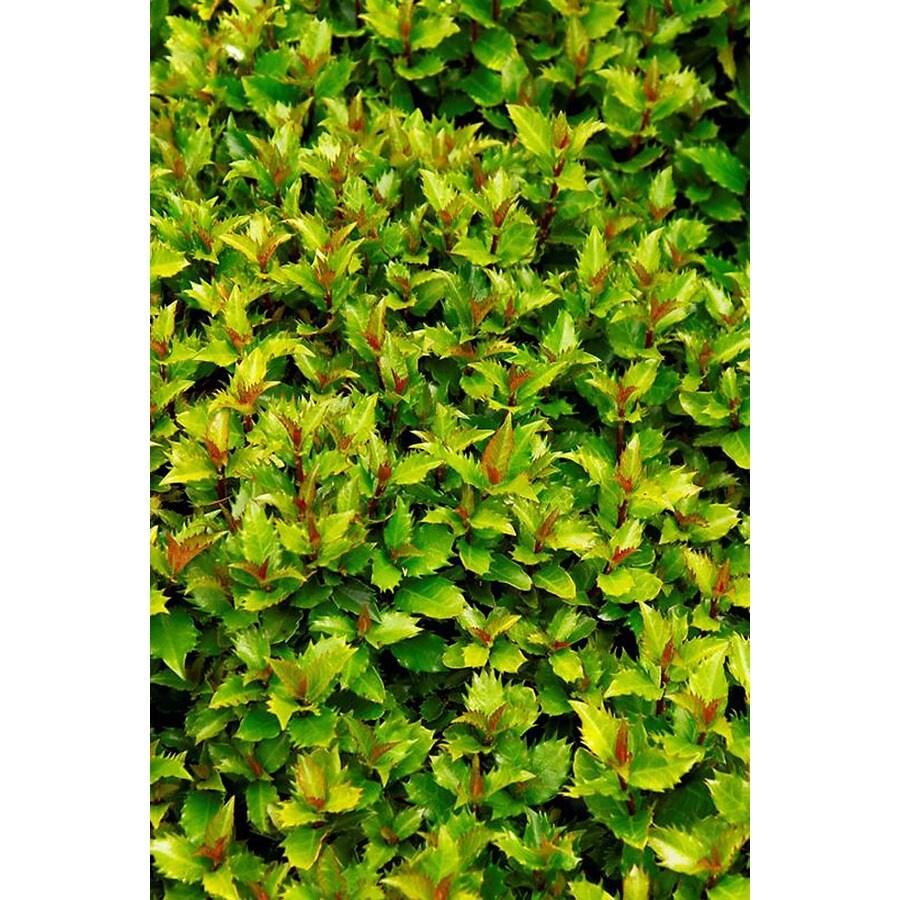 Monrovia 2.8-Gallon White Little Rascal Holly P9999 Flowering Shrub