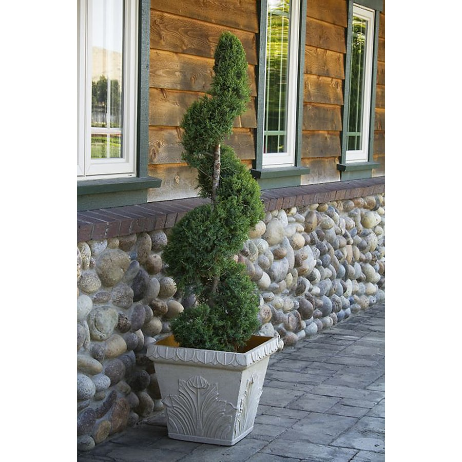 Monrovia 3.58-Gallon Spartan Juniper Spiral Screening Shrub