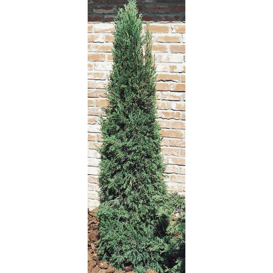 Monrovia 6.2-Gallon Spartan Juniper Feature Shrub (L4735)