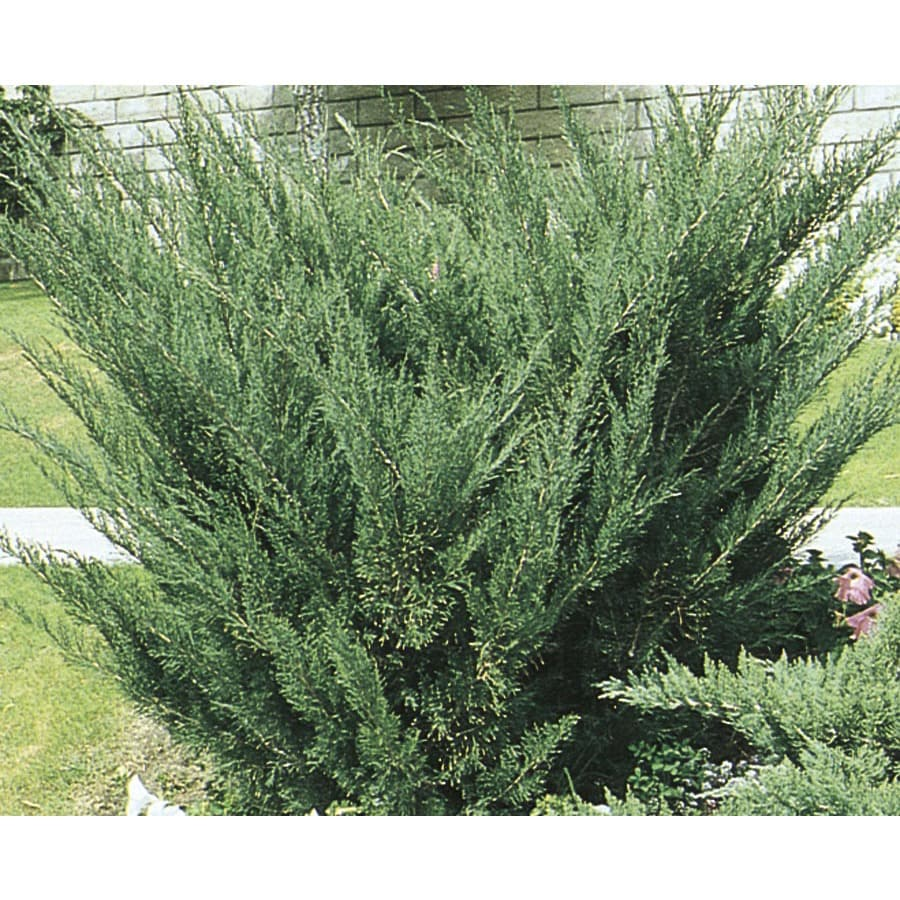 Monrovia 3.58-Gallon Sea Green Juniper Accent Shrub (L3045)