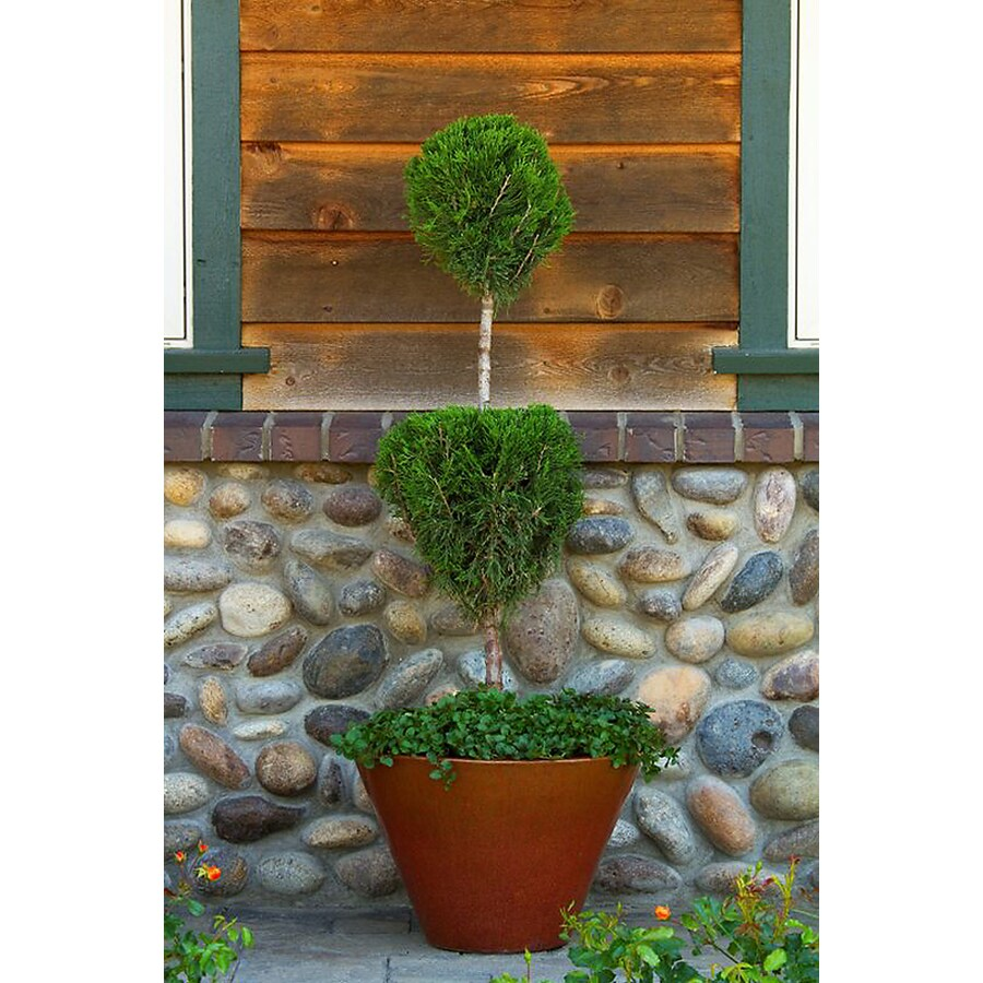 Monrovia 3.58-Gallon Green Columnar Juniper 2-Tier Poodle Screening Shrub