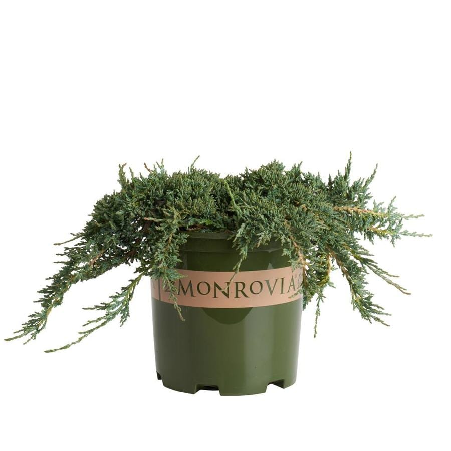 Monrovia 1.6-Gallon Icee Blue Juniper P9639 Foundation/Hedge Shrub
