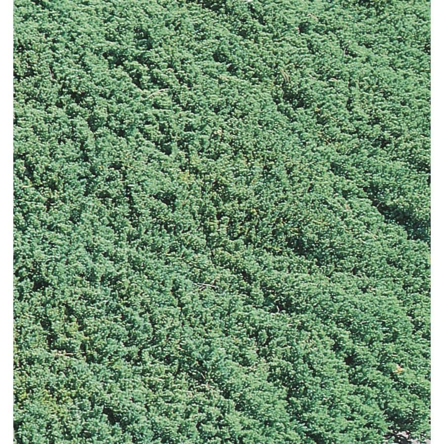 Monrovia 3.58-Gallon Dwarf Garden Juniper Accent Shrub (L7430)