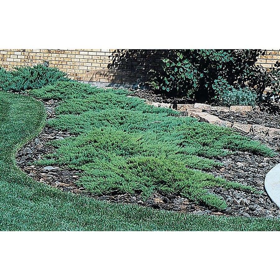 Monrovia 2.6-Quart Broadmoor Juniper Foundation/Hedge Shrub