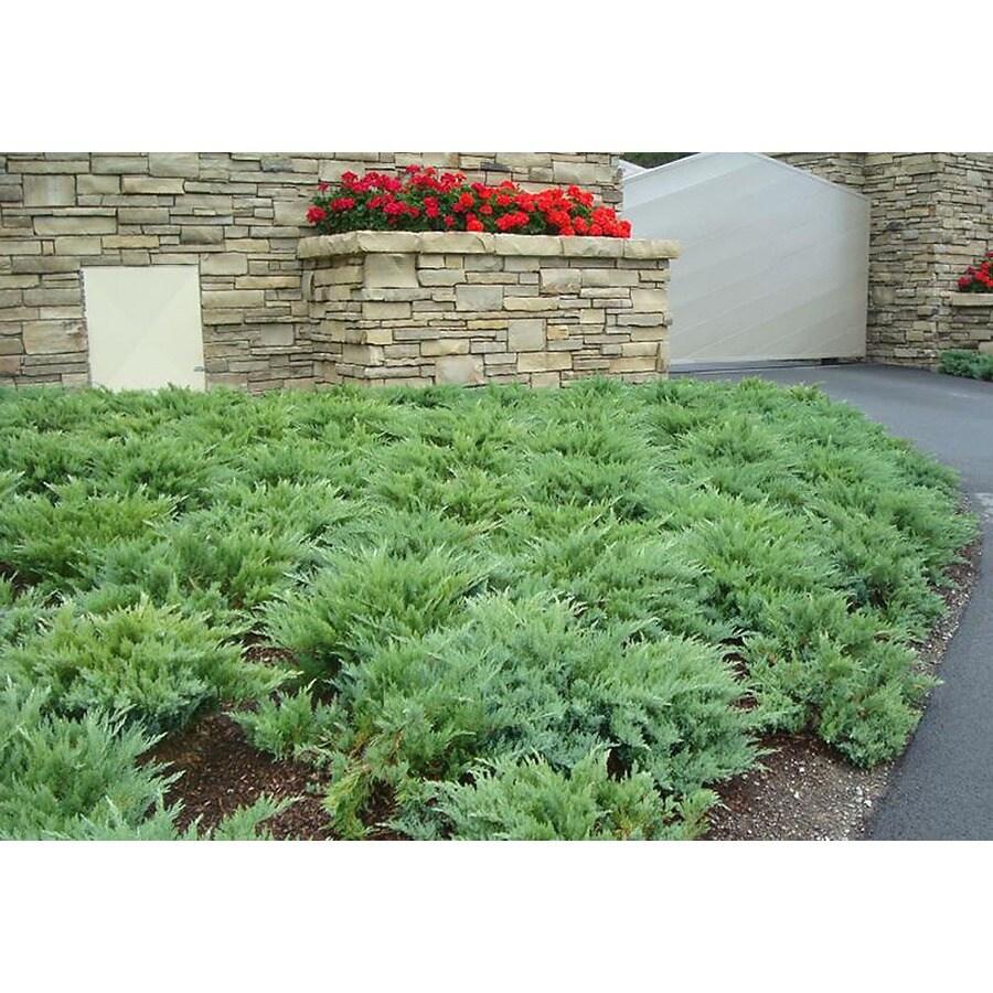 Monrovia 1.6-Gallon Moor-Dense K797Juniper Foundation/Hedge Shrub