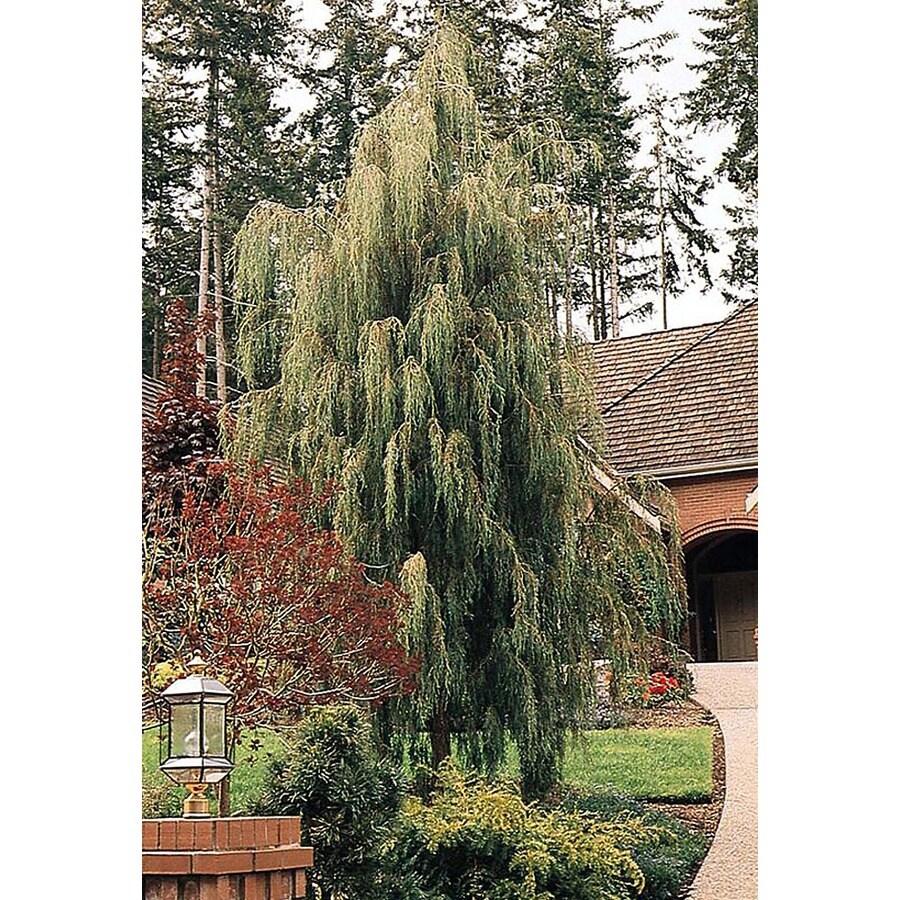 Monrovia 3.58-Gallon Tolleson's Blue Weeping Juniper Patio Tree Screening Shrub