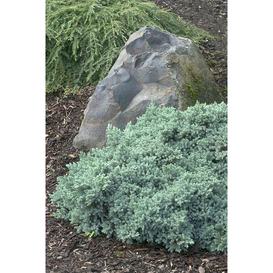 Monrovia 3.58-Gallon Blue Star Juniper Foundation/Hedge Shrub