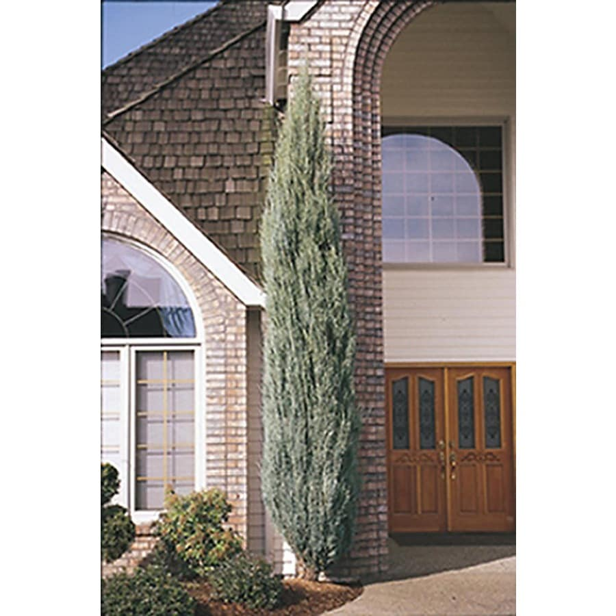 Monrovia 3.58-Gallon Blue Arrow Juniper Screening Shrub
