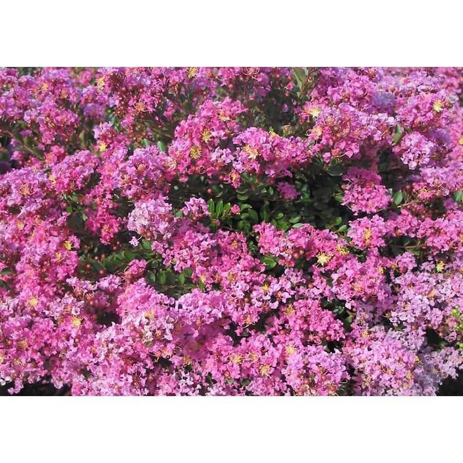Monrovia 3.58-Gallon Pink Pecos Crape Myrtle Flowering Shrub