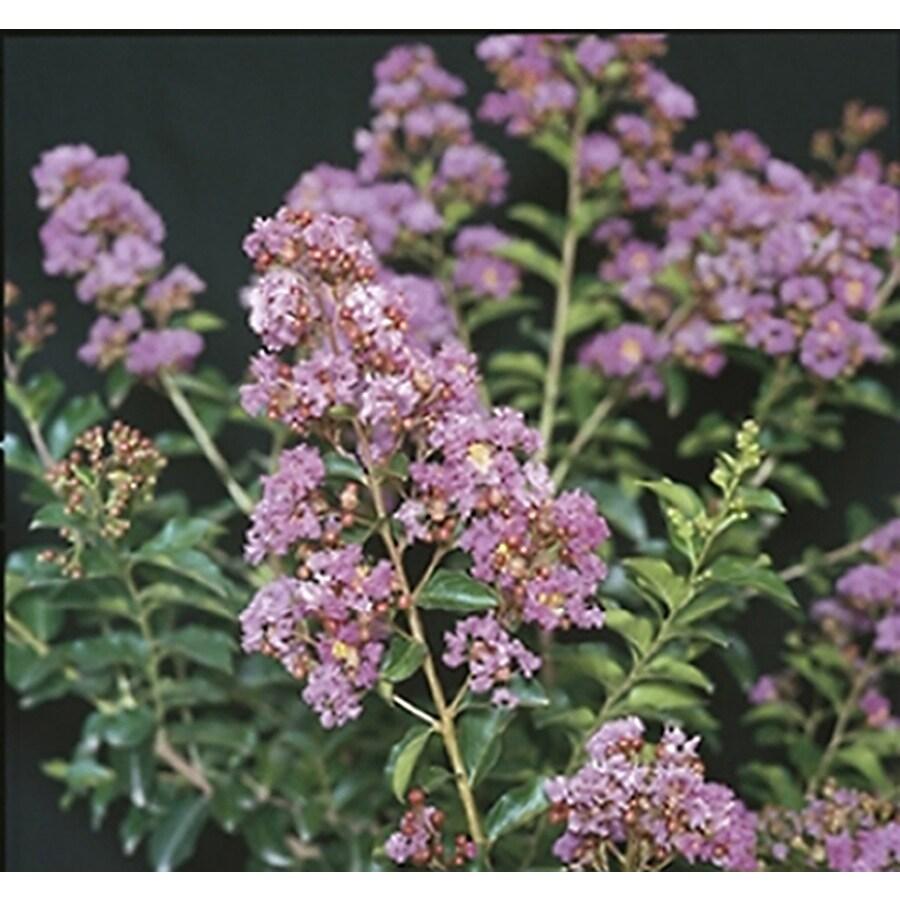 Monrovia 3.58-Gallon Lavender Zuni Crape Myrtle Flowering Shrub