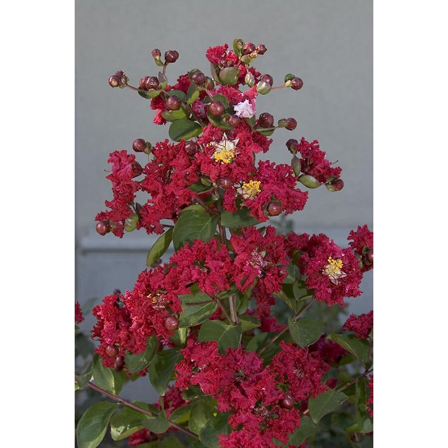 Monrovia 3.58-Gallon Red Centennial Spirit Crape Myrtle Flowering Shrub