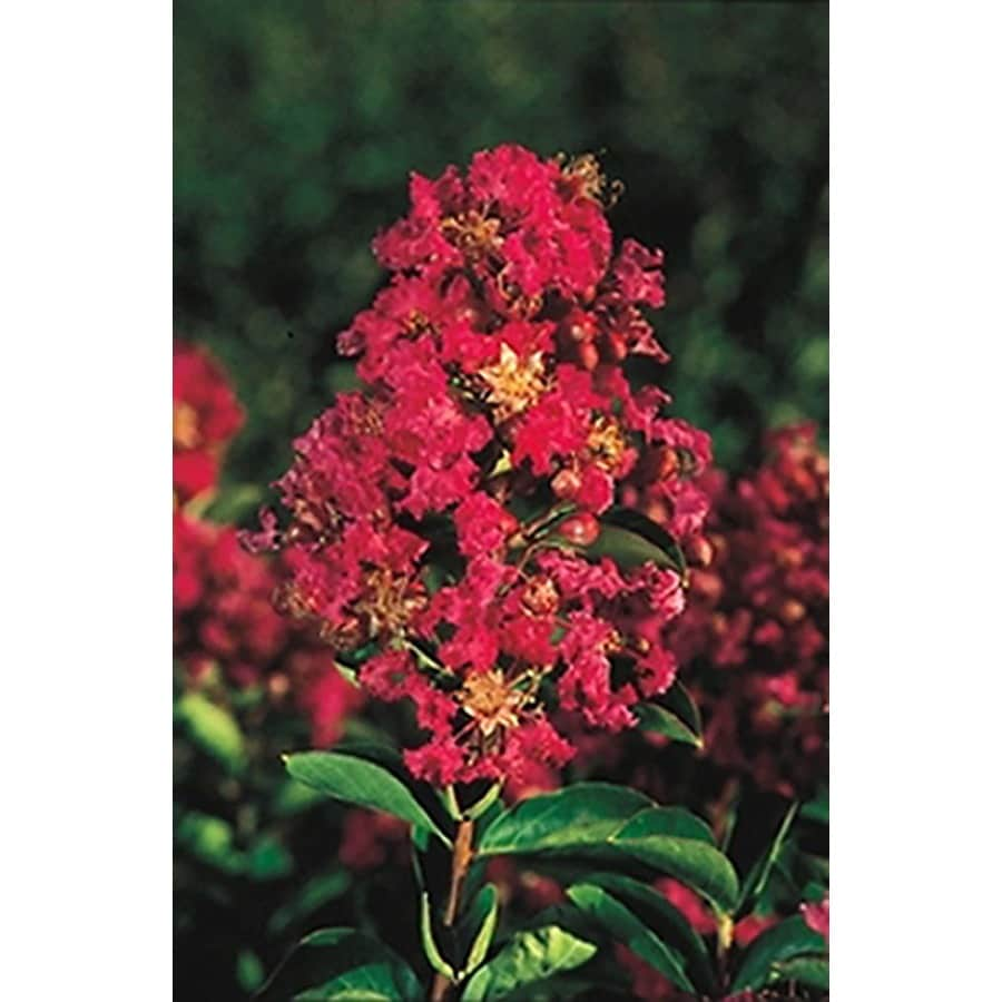 Monrovia 3.58-Gallon Red Petite Embers Crape Myrtle Flowering Shrub