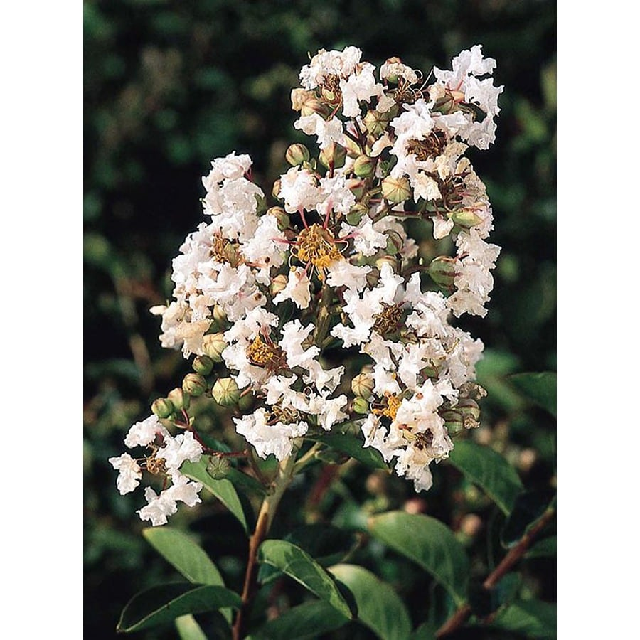 Monrovia 3.58-Gallon White Petite Snow K825Crape Myrtle Flowering Shrub