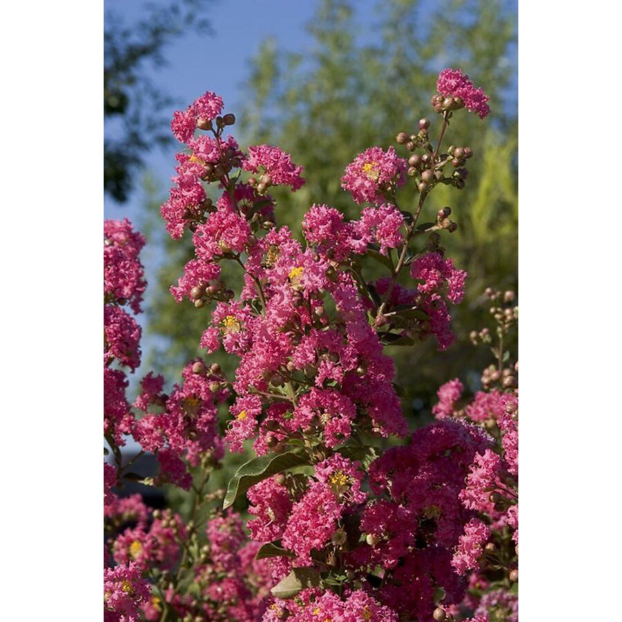 Monrovia 3.58-Gallon Red Watermelon Red Crape Myrtle Flowering Shrub