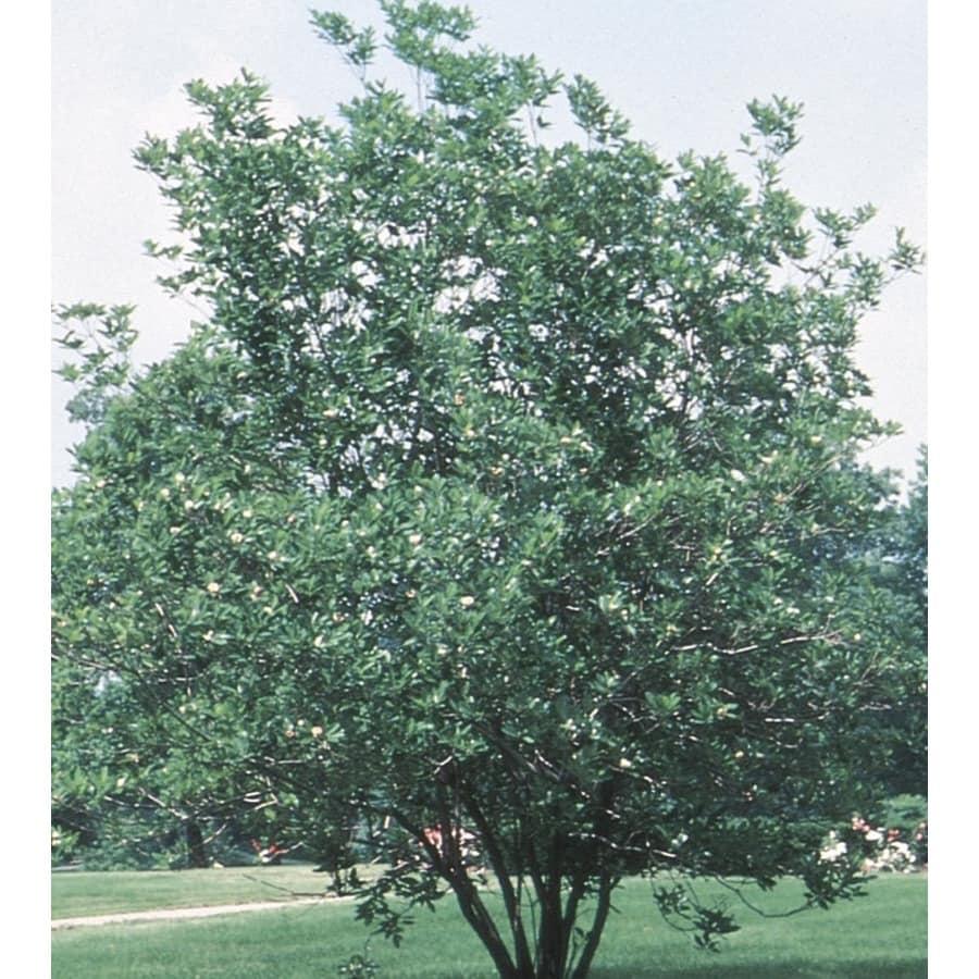 Monrovia 358 Gallon White Sweet Bay Magnolia Flowering Tree In Pot