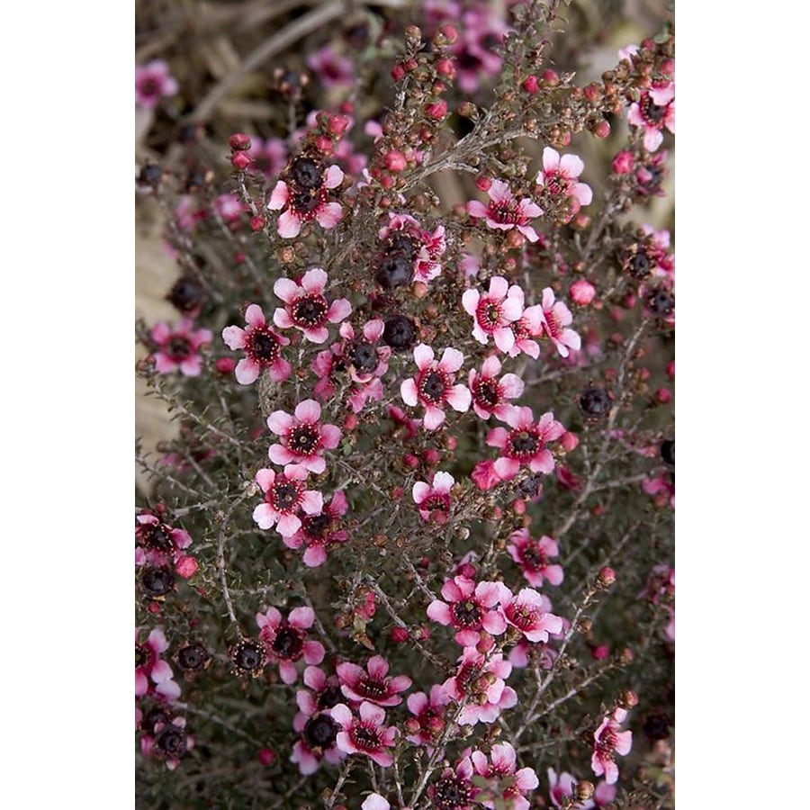 Monrovia 1.6-Gallon Pink Dwarf New Zealand Tea Tree Flowering Shrub