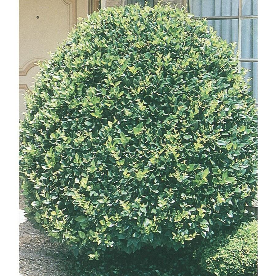 Monrovia 3.58-Gallon White Pyramid Waxleaf Ligustrum Feature Shrub (L7160)
