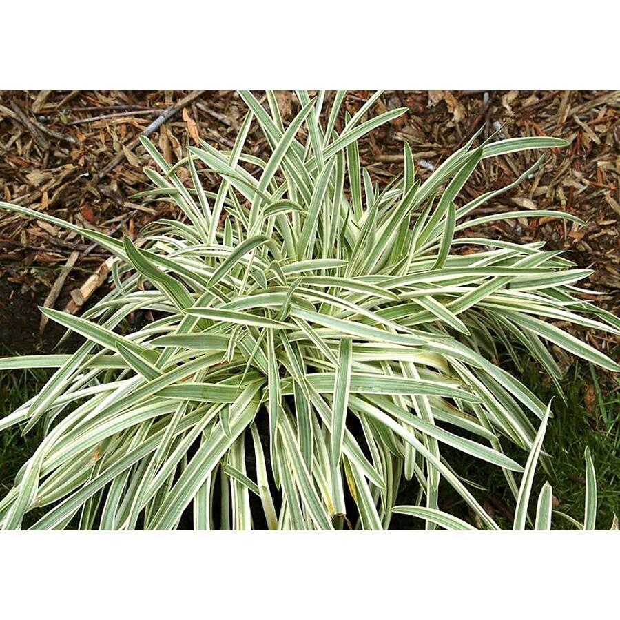 Monrovia 2.6-Quart Silver Dragon Lilyturf