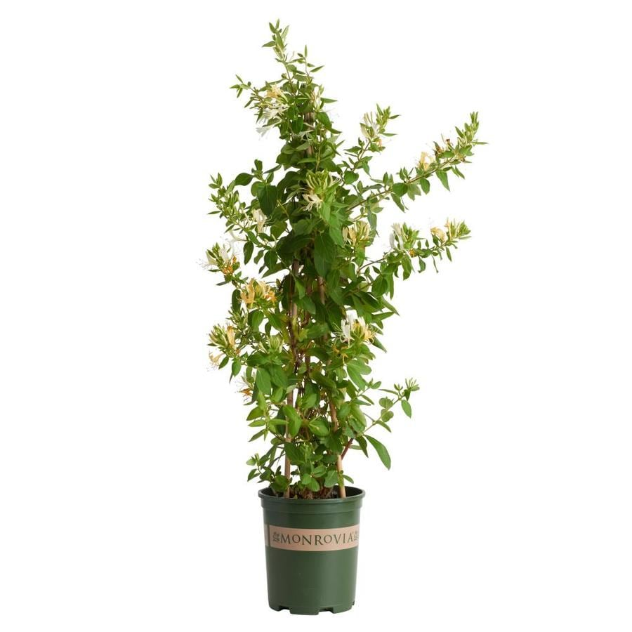 Monrovia 2.6 Quart- Hall's Japanese Honeysuckle