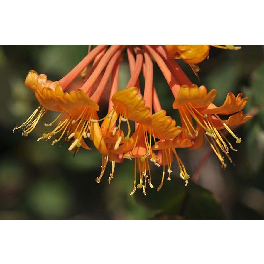 Monrovia 3.6-Gallon Mandarin Honeysuckle (P11083)