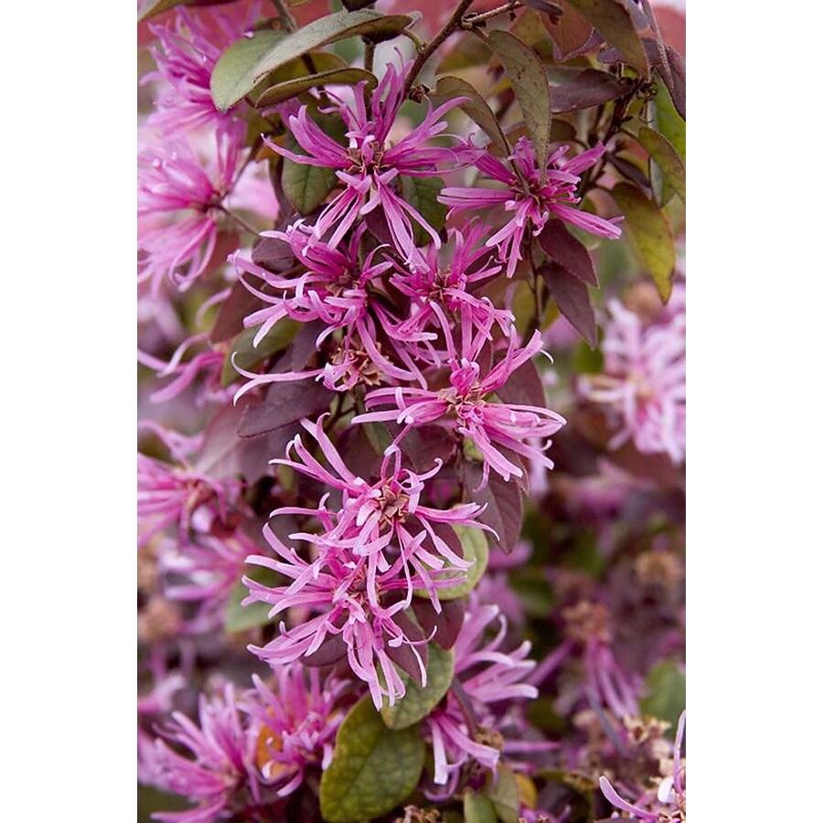 Monrovia 1.6-Gallon Pink Sizzling Pink Fringe Flower Flowering Shrub
