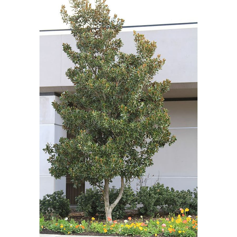 Monrovia 3.58-Gallon Dwarf Southern Magnolia Feature Tree (L1157)