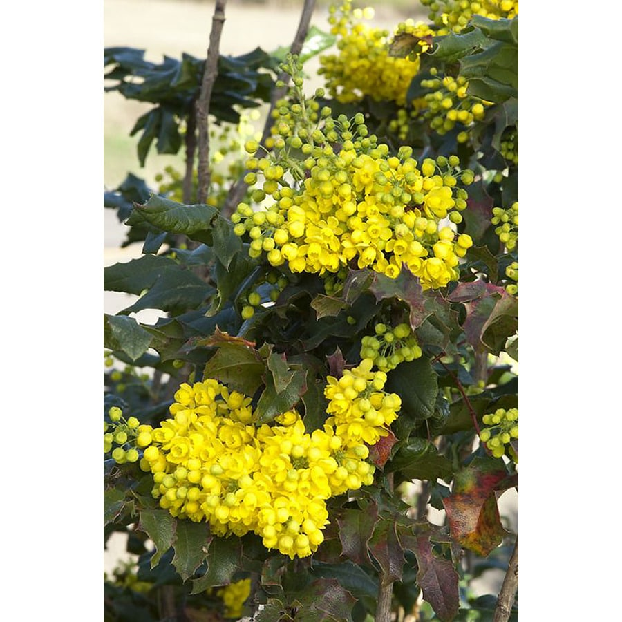 Monrovia 3.58-Gallon Yellow Oregon Grape Holly Flowering Shrub