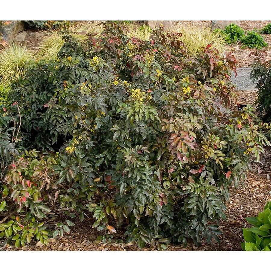 Monrovia Yellow Compact Oregon Grape Holly Flowering Shrub In Pot