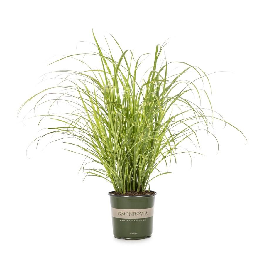 Monrovia 1-Gallon Maiden Grass