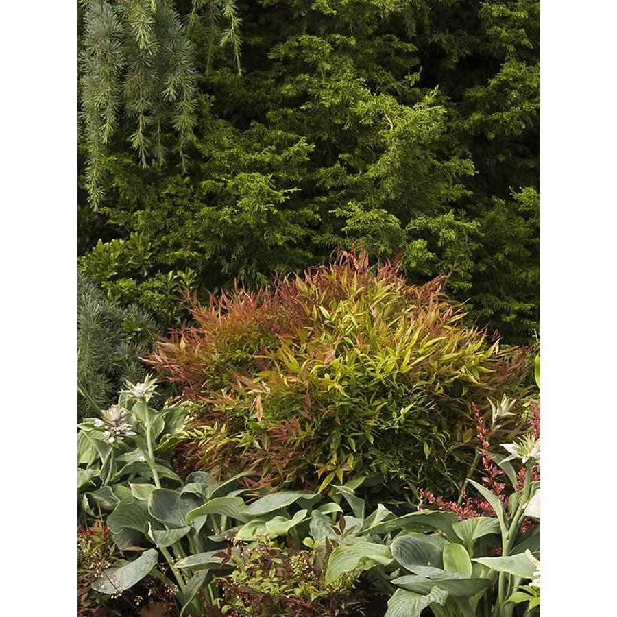 Monrovia 1.6-Gallon Sienna Sunrise Heavenly Bamboo Feature Shrub