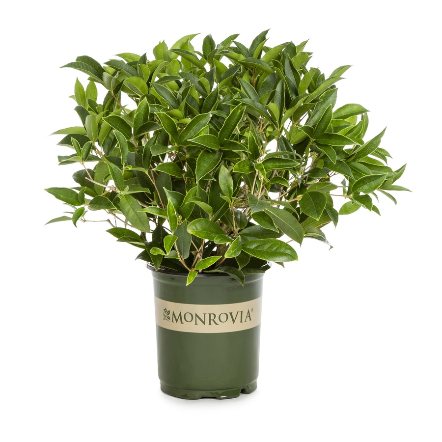 Monrovia White Fragrant Olive Flowering Shrub In Pot With Soil