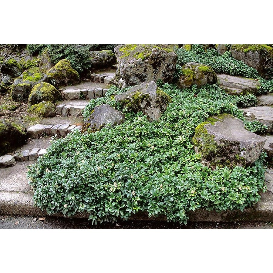 Monrovia 3-Quart Green Sheen Japanese Spurge