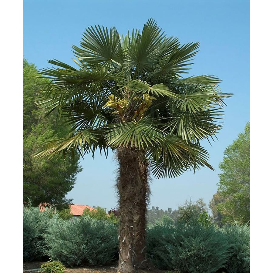 Monrovia 3.58-Gallon Windmill Palm Feature Tree